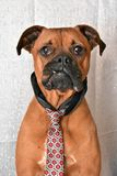 Boxer Breed Dog Valentine`s Day Portrait. Boxer breed dog wearing a tie for Valentine`s Day portraits royalty free stock photography