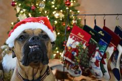 Boxer Breed Dog Christmas Portrait Royalty Free Stock Photo
