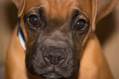 Boxer breed puppy stock photography