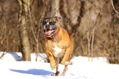 Boxer breed running Stock Image