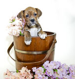 Boxer in Bucket with Flowers Royalty Free Stock Photos