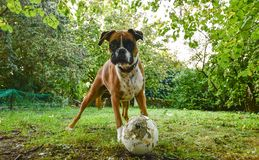 Boxer bull dog with a broken ball. A boxerbull dog brings broken ball to invite kids to play in a green grass covered garden stock image