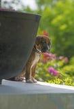 Boxer Bulldog close up head photo. Stock Photo