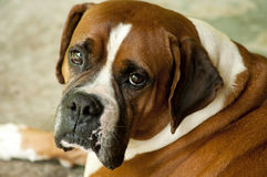 Boxer Bulldog close up head photo. Royalty Free Stock Photo