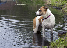Boxer Bulldog mixed breed dog swimming in lake. Royalty Free Stock Image