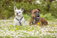 Boxer and bulldog in the park Royalty Free Stock Photos