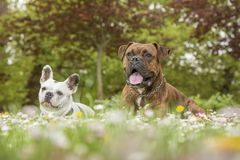 Boxer and bulldog in the park Royalty Free Stock Images
