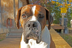 Boxer Bulldog sits at attention guarding his house. Stock Image