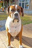 Boxer Bulldog sits at attention guarding his house. Stock Images