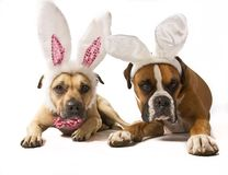 Boxer Bunnies Royalty Free Stock Image