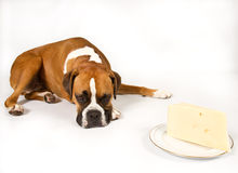 Boxer with Cheese. Boxer dog laying next to a wedge of cheese royalty free stock image