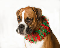Boxer in christmas collar. Boxer dog wearing a red and green christmas collar royalty free stock photo