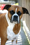 Boxer closeup. Boxer breed closeup of face and chest royalty free stock images
