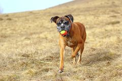 Boxer with colorful ball Royalty Free Stock Photo