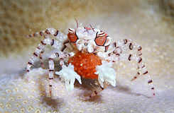 Boxer crab or round crab. (Lybia tesselata) Distinguished by carapace with distinct color pattern and small tufts of cirri. Species of Lybia defend themselves by Stock Images