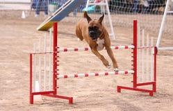 Boxer, der über einen Sprung in einem Beweglichkeitskurs hinausgeht Stockfotos