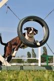 Boxer in der Beweglichkeit Stockfotografie