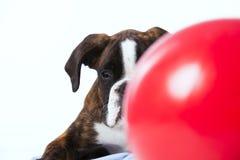 Boxer, der hinter einem Ball schaut Lizenzfreies Stockbild