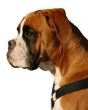 Boxer detoured. Profil of puppy purebred german boxer: cute watching dog Royalty Free Stock Images