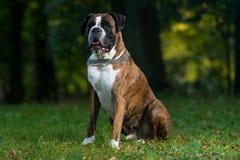 Boxer Detoured Royalty Free Stock Photos
