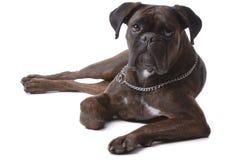 Boxer dog. Isolated on white stock images