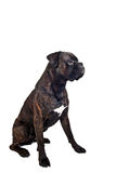Boxer dog Royalty Free Stock Image