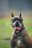 Boxer Dog Stock Photography