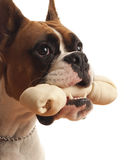 Boxer Dog. This is a picture of a young Boxer dog with a rawhide bone in his mouth Royalty Free Stock Photo