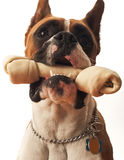 Boxer Dog. This is a picture of a young Boxer dog with a rawhide bone in his mouth Royalty Free Stock Image