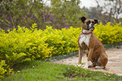 Boxer dog. Sitting on green garden Royalty Free Stock Images