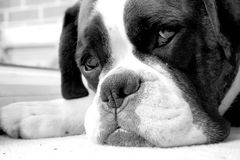 Boxer dog Royalty Free Stock Photos