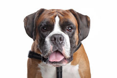 Boxer dog Stock Image