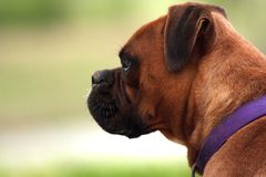 Boxer dog. Profile of a boxer dog staring Royalty Free Stock Photography