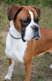 Boxer dog. A beautiful boxer dog portrait Royalty Free Stock Images