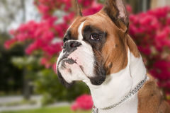 Boxer Dog. A male Boxer, fawn coloring with cropped ears Royalty Free Stock Images