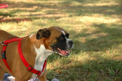 Boxer dog. A beautiful boxer dog outside wearing red harness with room for message to the right Stock Images