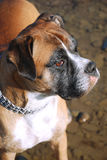 Boxer dog. Close up of a boxers head Royalty Free Stock Image