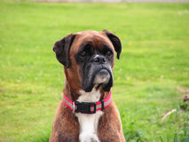 Boxer Dog. Spike the boxer dog sat alert and watching Royalty Free Stock Images