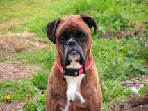Boxer Dog. Spike, the boxer dog Royalty Free Stock Photography