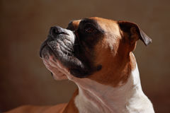 Boxer dog. American boxer dog is looking Stock Photo