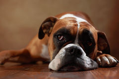 Boxer dog. American boxer dog is looking stock photography