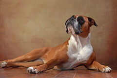 Boxer dog. American boxer dog is looking stock images