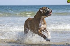 Boxer dog and ball Stock Image