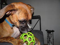 Boxer dog with a ball. Dog chews on a green ball Stock Photo
