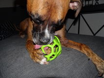 Boxer dog with a ball. Boxer dog licks green ball Royalty Free Stock Images