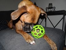 Boxer dog with a ball. Boxer dog sniffs green ball Royalty Free Stock Photo