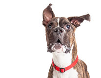 Boxer Dog Barking Ears Flying. Large Boxer crossbreed dog with ears flying up while barking Royalty Free Stock Photos