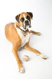 Boxer Dog with Baseball Stock Photography