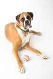 Boxer Dog with Baseball. Boxer Dog laying down with baseball stock photography