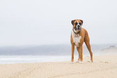 Boxer dog on Beach Stock Image